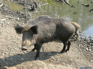 Divlja svinja 1, Komatnica 29042007_1